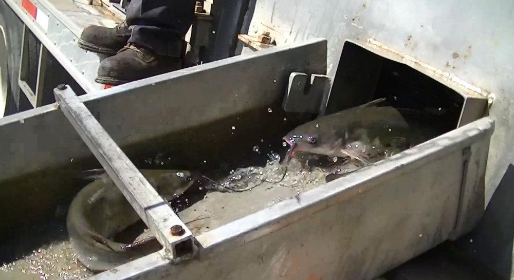 10 17 13 stocking catfish at santa ana river lakes for Santa ana river lakes fishing tips